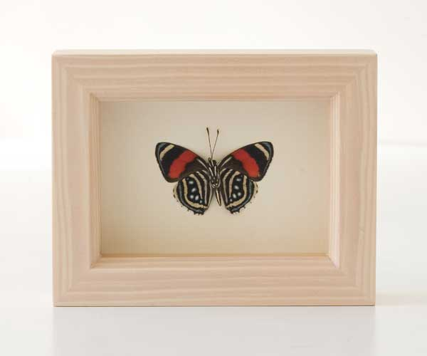 butterfly Under glass
