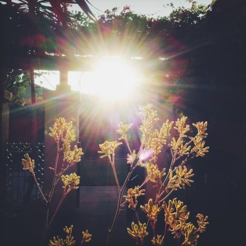 sun through the kangaroo paw