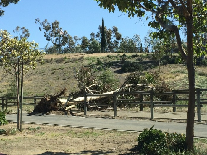 Downed tree after severe winds